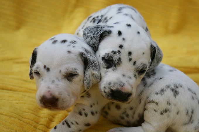 Rüde (helblau & dunkelblau)