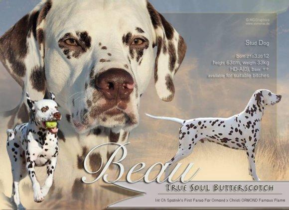 Deckrüde Beau